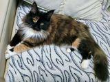 Котенок мейн-кун 5 месяца  девочка и мальчик