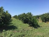De vinzare 110 hectare livada de nuci ,virsta de 9 ani,de 2 ani da roada,pe lot este angar de 800m2