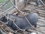 Vînd porc vietnamez