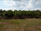 молодой ореховый сад