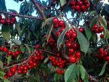 Se vinde livadă de cireșe și prune !!!