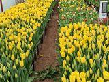 тюльпаны оптом, мелким оптом, в розницу