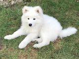 Щенки самоедской собаки (самоеды)