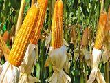 Hibrizi de porumb și floarea soarelui cu o productivitate sporita