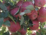 Livada de mere