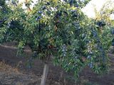 Livada prune,mere  urgent