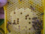 Продам плодных пчеломаток Бакфаст F1