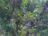Продается сливовый сад в Новых Аненах
