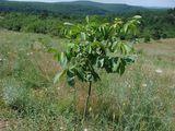 Vand teren agricol 37 ha, pe 33ha este plantata o livada de nuci