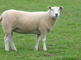 Куплю овец и коз, транспорт есть.