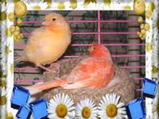 Лучший подарок к новогодним праздникам :поющие канарейки,амадины и другие птицы по доступным ценам.