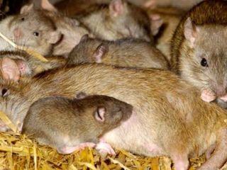 Deratizare: scapă de șoareci, șobolani! Дератизация: избавься от крыс и мышей!
