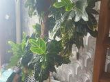 Croton floare de camera inaltimea 150, Palmier 2 intr o glastra inaltimea 200,