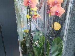 Orhidee în culori unice, flori de camera