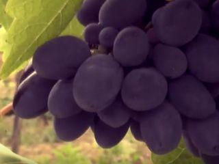 Молодой сад слив и виноградник Кодрянка в Кодрах Молдовы!