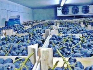 Куплю виноград Молдова Сурученский