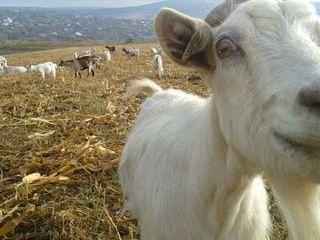 Vînd lapte de capră