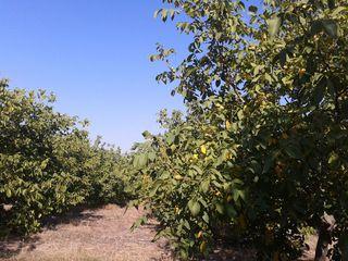Ореховый сад| Livada de nuci
