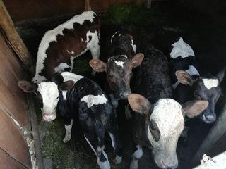 Ищу деньги для развития скотоводства