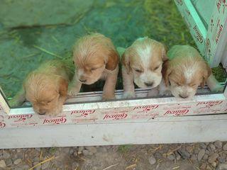 Кокер спаниели щенки