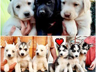 Labradori și Husky / Лабрадоры и хаски