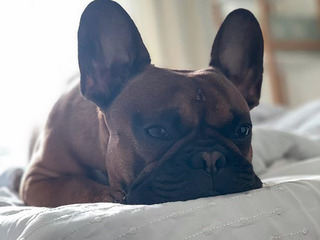Bulldog francez imperechere