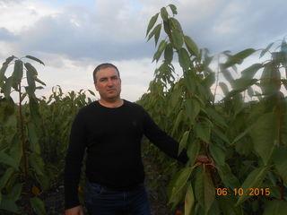 Pomi fructiferi - par  ( prasad ) Noiabriscaia, Seineț  Kyfera ( Senskaia ),Abate Fetel  ...