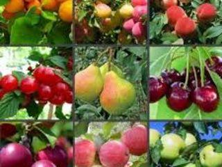 Prun, cais, cireş, vişin, măr- material săditor 2020-2021. Proiectarea plantațiilor pomicole