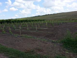 Срочно продам виноградник 7 га виноградника молдова, дает полноценный урожай! площадь 7 га.   50 km