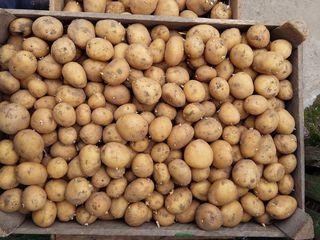 Cartofi de sămînță Reviera