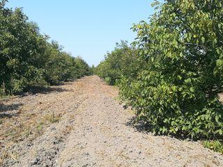 Se vând 7,23 hectare livadă de nuc