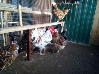инкубационные яйца, куры петухи