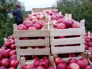 Продам яблоневый сад