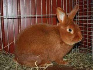 Кролики новозеландские красные - бургунские