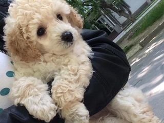 Vind toy poodle