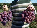 De vînzare struguri, Moldova, Red Glob,Suruceni, Ialoveni