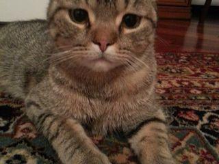 Нашелся серый полосатый кот. Кто потерял