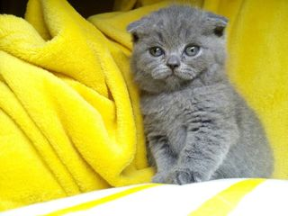 pisici scottish