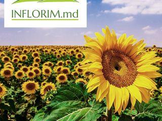Doina - 110 lei: semințe floare soarelui