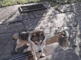Пропала собака породы Хаски