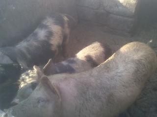 Porcii