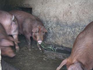 Porci de casa 100-140 kg