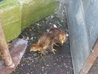 ПРОДАМ СРОЧНО цыплята брама 1 месяц