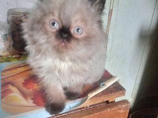 Шикарные персидские чистопородные котята, оченьпушистые котик колорпойнт и кошечка голубкремка 1,5ме