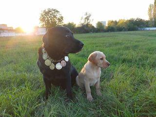 Продам щенка лабрадор-ретривер с отличной родословной