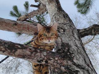 Бенгалиский кот приглашает!