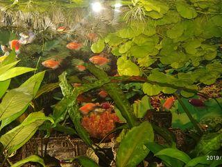 продам растение криптокарина лимонник и щитолистник белоголовый. Hydrocotyle leucocephala