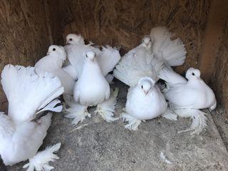 Porumbei Urgent