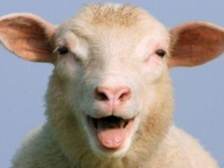 Cumpar oi si capre ! закупаю козы и овцы ! транспорт бесплатный