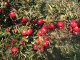 Vind mere  in cantitati mari si mici diferite soiuri